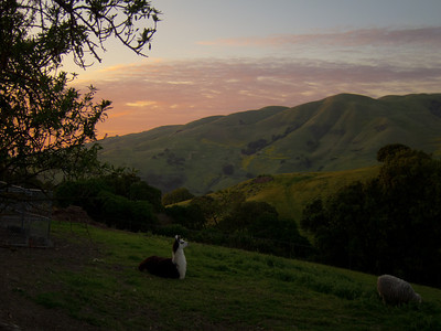 April 21: Sunset in the eastern foothills, with llama. (This is a composite of the same photo tweaked in different ways for the sky and the rest of it.)