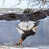 Chilkat Eagles 7DMKII-20171203-0477