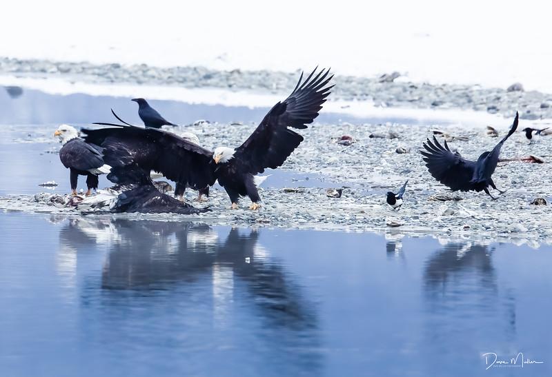 Chilkat Eagles 5DMKIII-20171202-0663-Edit-Edit