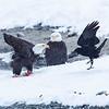 Chilkat Eagles 5DMKIII-20171202-0792-Edit