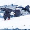 Chilkat Eagles 5DMKIII-20171202-0791-Edit