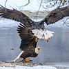 Chilkat Eagles 7DMKII-20171203-0476