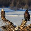 Chilkat Eagles 7DMKII-20171201-0455