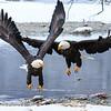 Chilkat Eagles 7DMKII-20171203-0433