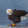 Chilkat Eagles 5DMKIII-20171203-0297-Edit