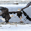 Chilkat Eagles 7DMKII-20171203-0428