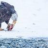 Chilkat Eagles 5DMKIII-20171202-0203-Edit