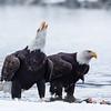 Chilkat Eagles 5DMKIII-20171203-0184-Edit