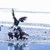 Chilkat Eagles 5DMKIII-20171202-0665-Edit