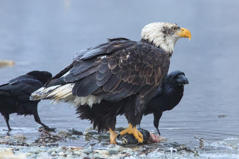Chilkat Eagles 5DMKIII-20171203-0643
