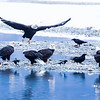 Chilkat Eagles 5DMKIII-20171202-0679-Edit