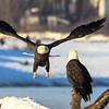 Chilkat Eagles 7DMKII-20171201-0513-2