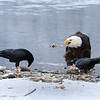Chilkat Eagles 7DMKII-20171203-0466