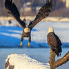 Chilkat Eagles 7DMKII-20171201-0510