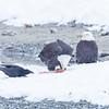 Chilkat Eagles 5DMKIII-20171202-0813-Edit