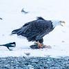 Chilkat Eagles 5DMKIII-20171202-0121-Edit