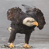Chilkat Eagles 5DMKIII-20171203-0634