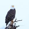 Chilkat_Eagles_5DMKIII-20171130-0096