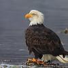Chilkat Eagles 5DMKIII-20171203-0342