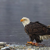Chilkat Eagles 5DMKIII-20171203-0333