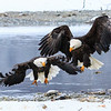 Chilkat Eagles 7DMKII-20171203-0434
