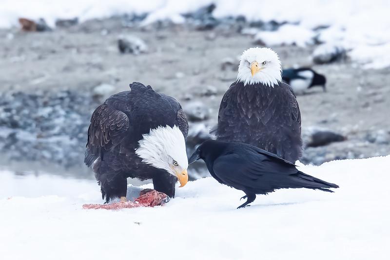 Chilkat Eagles 5DMKIII-20171202-0822-Edit