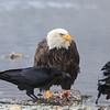 Chilkat Eagles 5DMKIII-20171203-0618