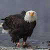 Chilkat Eagles 5DMKIII-20171203-0484