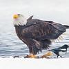 Chilkat Eagles 5DMKIII-20171203-0195-Edit