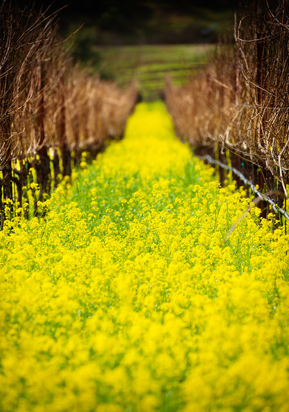 Depth of Mustard FieldNapa, CaliforniaIn a veritable a riot of yellow, the mustards welcomed spring.