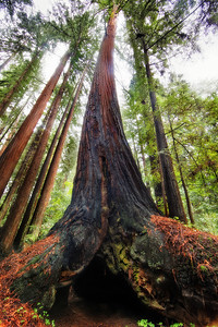 Tree Legs  If Redwood Trees could walk...