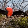 Frigate Bird, Galapagos Islands