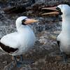 Nazca Booby Birds (Sula granti)