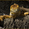 The Land Iguana (Conolophus subcristatus), Galapagos Islands