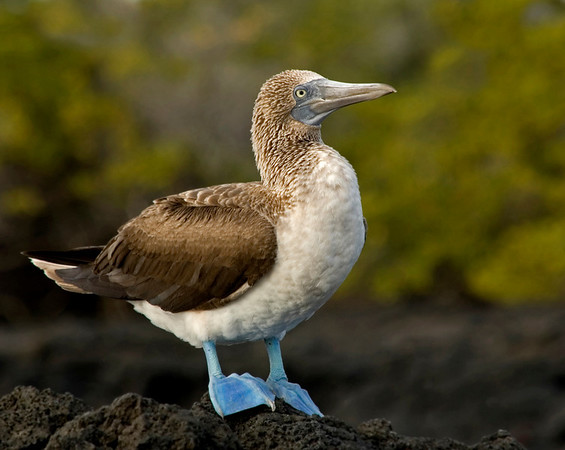 ...on the lava, at Las Bachas, Isla Santa Cruz, Galapagos Islands.