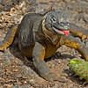 Land Iguana, Galapagos Islands, eats cactus.