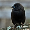 Galapagos Islands Medium Ground Finch<br /> Darwin's Medium Ground Finch ( Geospiza fortis)