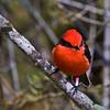 Vermilion flycatcher  (Pyrocephalus rubinus), Galapagos Islands