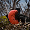 Frigate Bird, Galapagos Islands