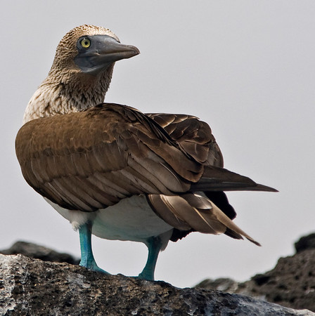 Bluefooted Booby looks back<br /> The Galapagos Islands