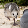 Swallow-tailed Gull Chick, Galapagos Islands