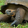 Giant Tortoise (Geochelone elephantopus) on Santa Cruz Island in the Galapagos.