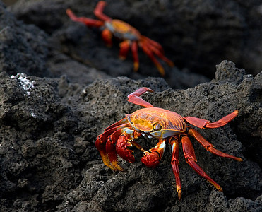 Sally Lightfoot Crabs...on lava. Galapagos Islands