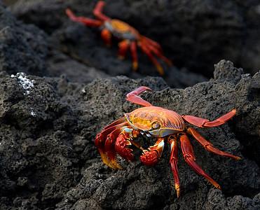 Sally Lightfoot Crabs...on lava. Galapagos Islands