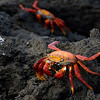 Sally Lightfoot Crabs...on lava.<br /> Galapagos Islands