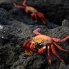 Sally Lightfoot Crabs...on lava.<br /> Galapagos Islands