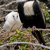 Frigate bird and chick in nest, Galapagos Islands