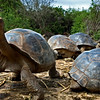 Giant Tortoise, Santa Cruz Island, Darwin Research Center;