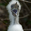 Hungry Redfooted Booby Chick, Galapagos Islands