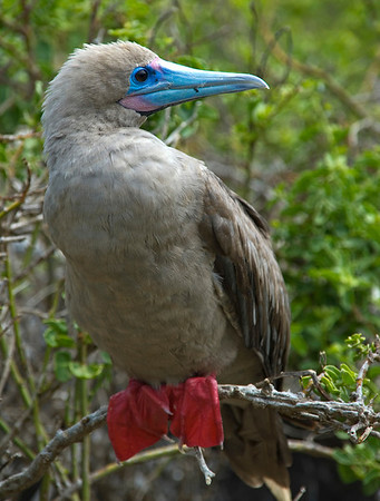 Redfooted Booby Bird (Sula sula), Galapagos Islands